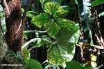 Rainforest leaves [costa_rica_4487]