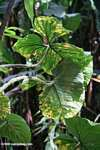 Rainforest leaves [costa_rica_4488]
