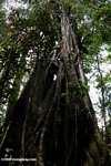 Strangler fig [costa_rica_4500]