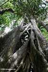 Strangler fig [costa_rica_4501]