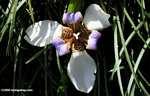 Apostle's Iris (Neomarica gracilis) [costa_rica_4584]