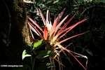 Bromeliad [costa_rica_4620]