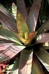 Bromeliad [costa_rica_4623]