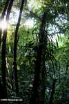 Fern grove in the Costa Rican rainforest
