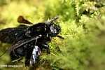 Black honeybee