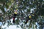 Pair of Swainson's Toucan (Ramphastos swainsonii)