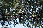 Pair of Chestnut-mandibled Toucan (Ramphastos swainsonii)