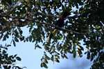 Swainson's Toucan (Ramphastos swainsonii) [costa_rica_4875]