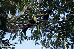 Chestnut-mandibled Toucan (Ramphastos swainsonii) [costa_rica_4881]