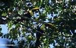 Swainson's Toucan (Ramphastos swainsonii) [costa_rica_4899]
