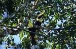 Swainson's Toucan (Ramphastos swainsonii) [costa_rica_4909]