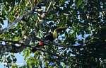 Swainson's Toucan (Ramphastos swainsonii) [costa_rica_4919]