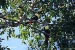 Swainson's Toucan (Ramphastos swainsonii) [costa_rica_4924]