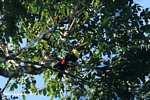 Swainson's Toucan (Ramphastos swainsonii) [costa_rica_4931]