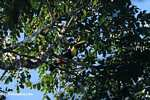Swainson's Toucan (Ramphastos swainsonii) [costa_rica_4936]