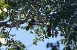 Swainson's Toucan (Ramphastos swainsonii) [costa_rica_4958]