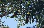 Chestnut-mandibled Toucan (Ramphastos swainsonii) [costa_rica_4959]