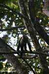White-faced Capuchin (Cebus capucinus) [costa_rica_5025]