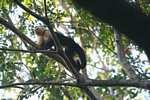 White-faced Capuchin (Cebus capucinus) [costa_rica_5029]