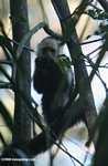 White-faced Capuchin (Cebus capucinus) [costa_rica_5064]