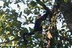 White-faced Capuchin (Cebus capucinus) [costa_rica_5066]