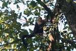 White-faced Capuchin (Cebus capucinus) [costa_rica_5067]