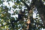 White-faced Capuchin (Cebus capucinus) [costa_rica_5068]
