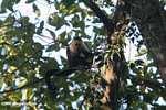 White-faced Capuchin (Cebus capucinus) [costa_rica_5070]
