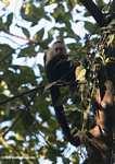 White-faced Capuchin (Cebus capucinus) [costa_rica_5076]