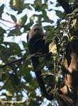 White-faced Capuchin (Cebus capucinus) [costa_rica_5078]