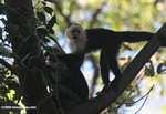 White-faced Capuchin (Cebus capucinus) [costa_rica_5099a]