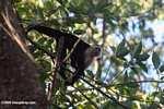 White-faced Capuchin (Cebus capucinus) [costa_rica_5101]