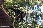 White-faced Capuchin (Cebus capucinus) [costa_rica_5102]