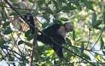 White-faced Capuchin (Cebus capucinus) [costa_rica_5106]