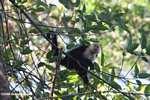 White-faced Capuchin (Cebus capucinus) [costa_rica_5107]