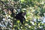 White-faced Capuchin (Cebus capucinus) [costa_rica_5108]