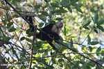 White-faced Capuchin (Cebus capucinus) [costa_rica_5110]