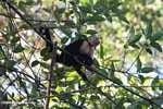 White-faced Capuchin (Cebus capucinus) [costa_rica_5111]