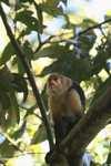 White-faced Capuchin (Cebus capucinus) [costa_rica_5112]
