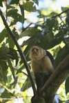 White-faced Capuchin (Cebus capucinus) [costa_rica_5114]