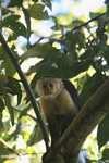 White-faced Capuchin (Cebus capucinus) [costa_rica_5116]