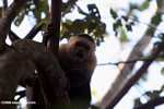 White-faced Capuchin baring its fangs [costa_rica_5133]