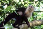 White-faced Capuchin [costa_rica_5151]