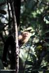 White-faced Capuchin [costa_rica_5156]