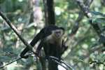 White-faced Capuchin [costa_rica_5165]