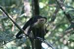 White-faced Capuchin [costa_rica_5166]