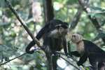White-faced Capuchin [costa_rica_5169]