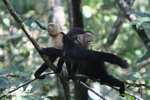White-faced Capuchin [costa_rica_5171]