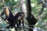 White-faced Capuchin [costa_rica_5174]