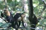 White-faced Capuchin [costa_rica_5175]